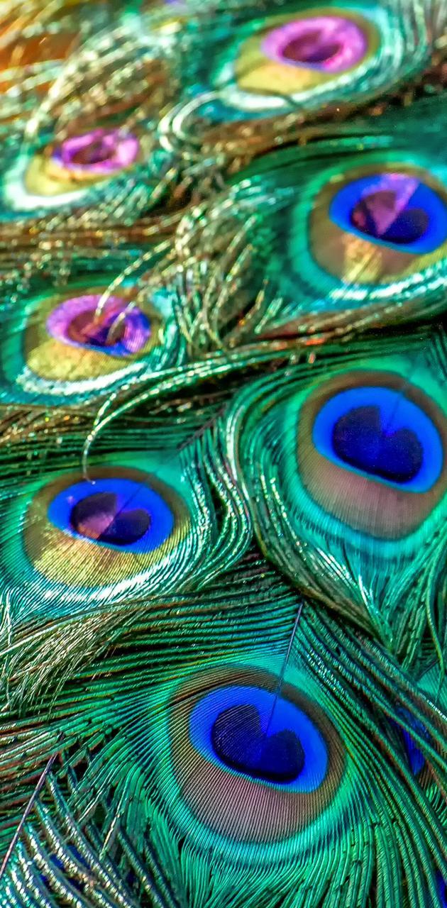 Peacock Tail 01