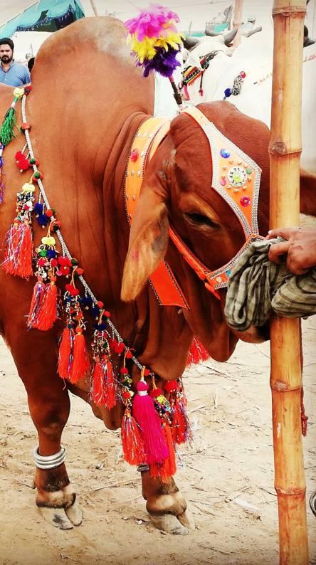 Cow Qurbani