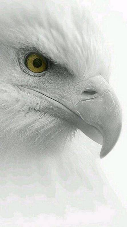 Eagle Images Hd With Quotes