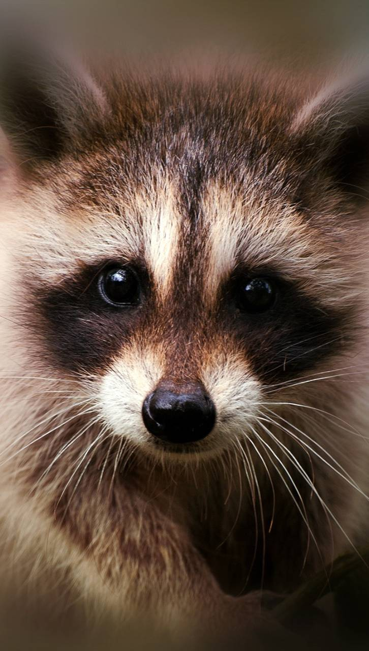 Raccoon Face Wallpaper by Ertangkyldrm - 08 - Free on ZEDGE™