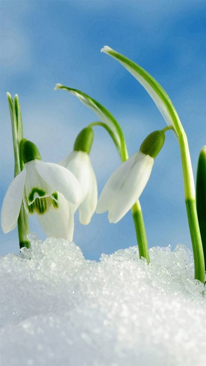 Snow Orchid