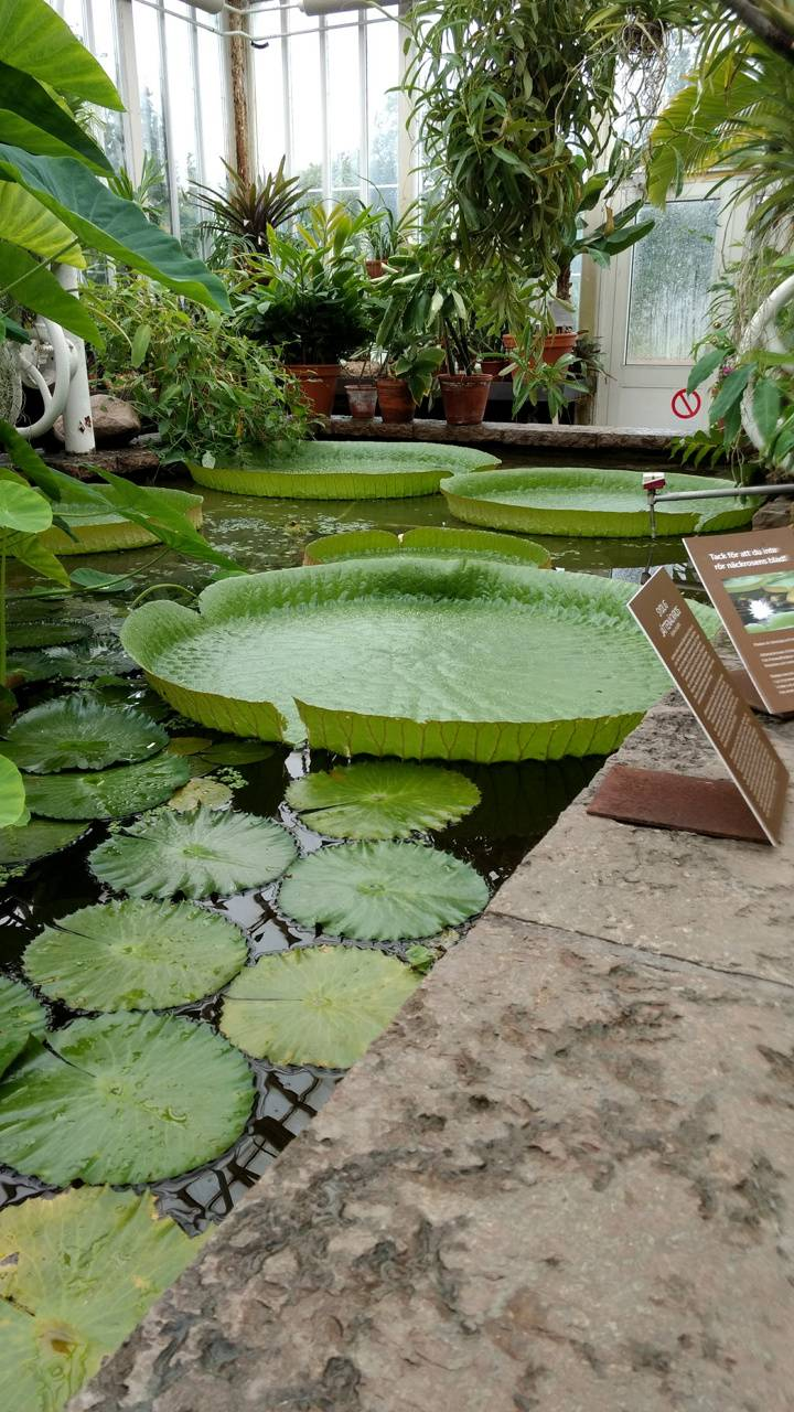 Lily pad in Garden
