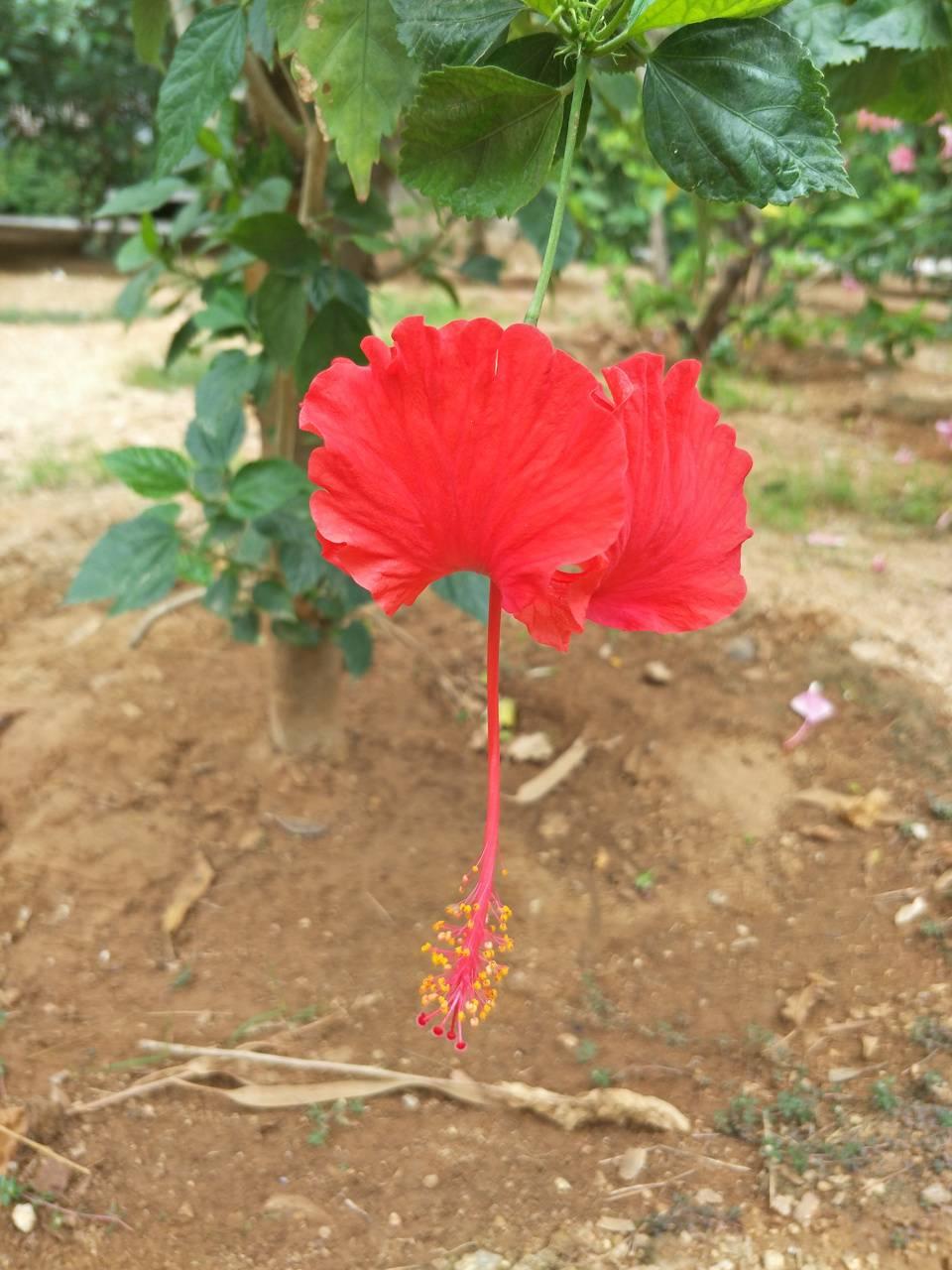 Hibiscus tejan