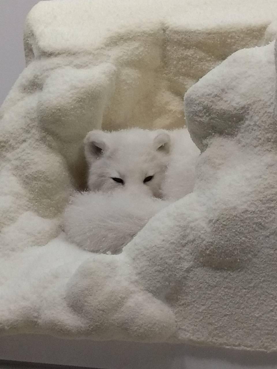 Sleepy Snowfox