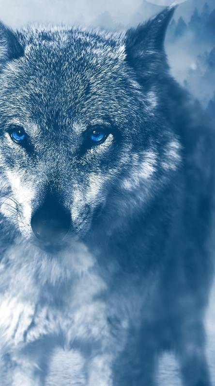 Blue Wolf Wallpapers