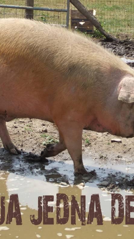 Pig Bosnic