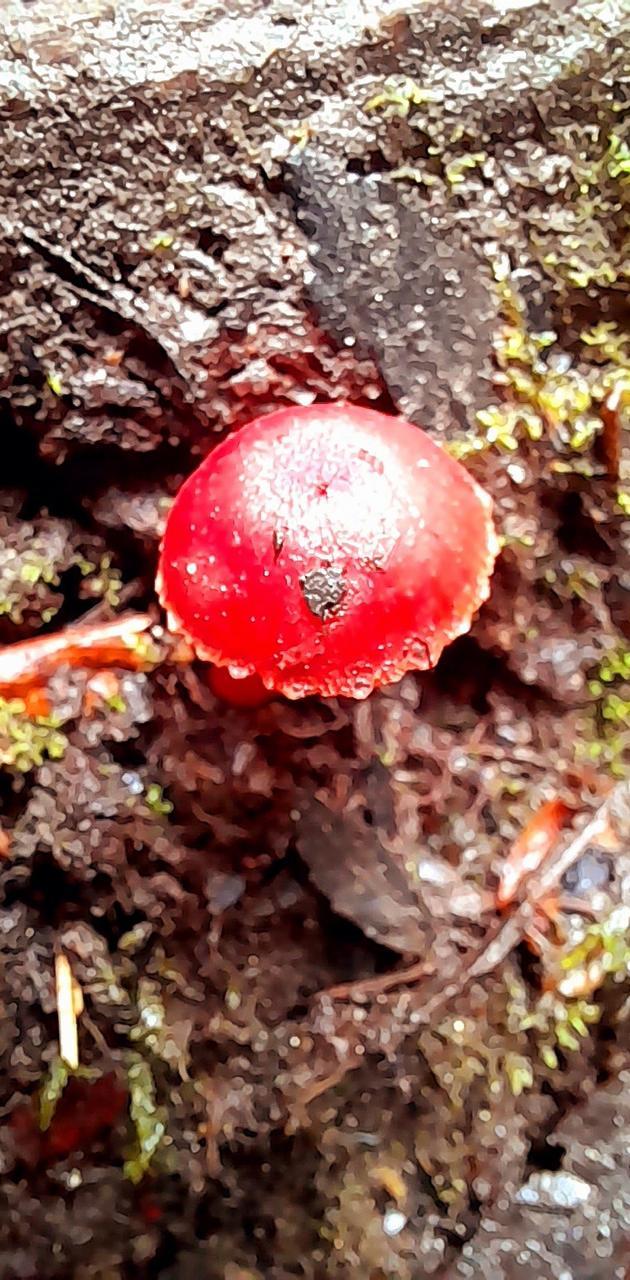 Blood mushroom