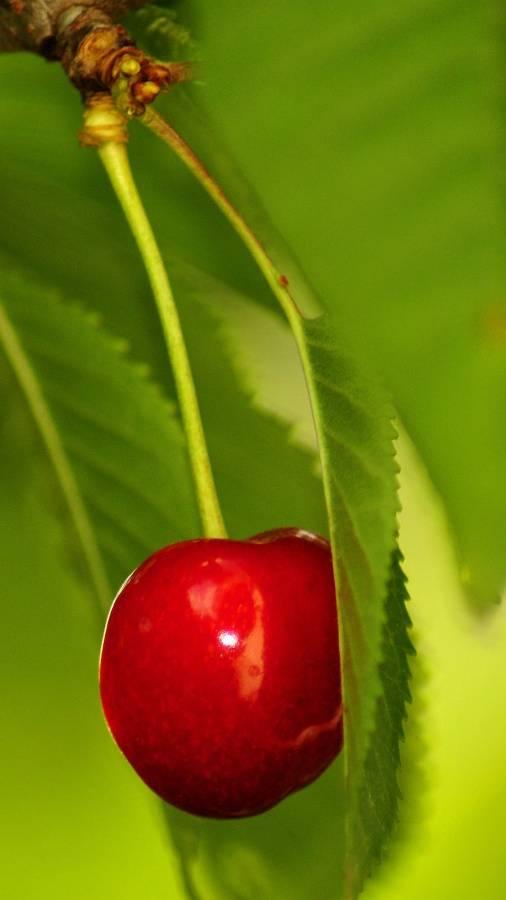 Cherry On A Tree