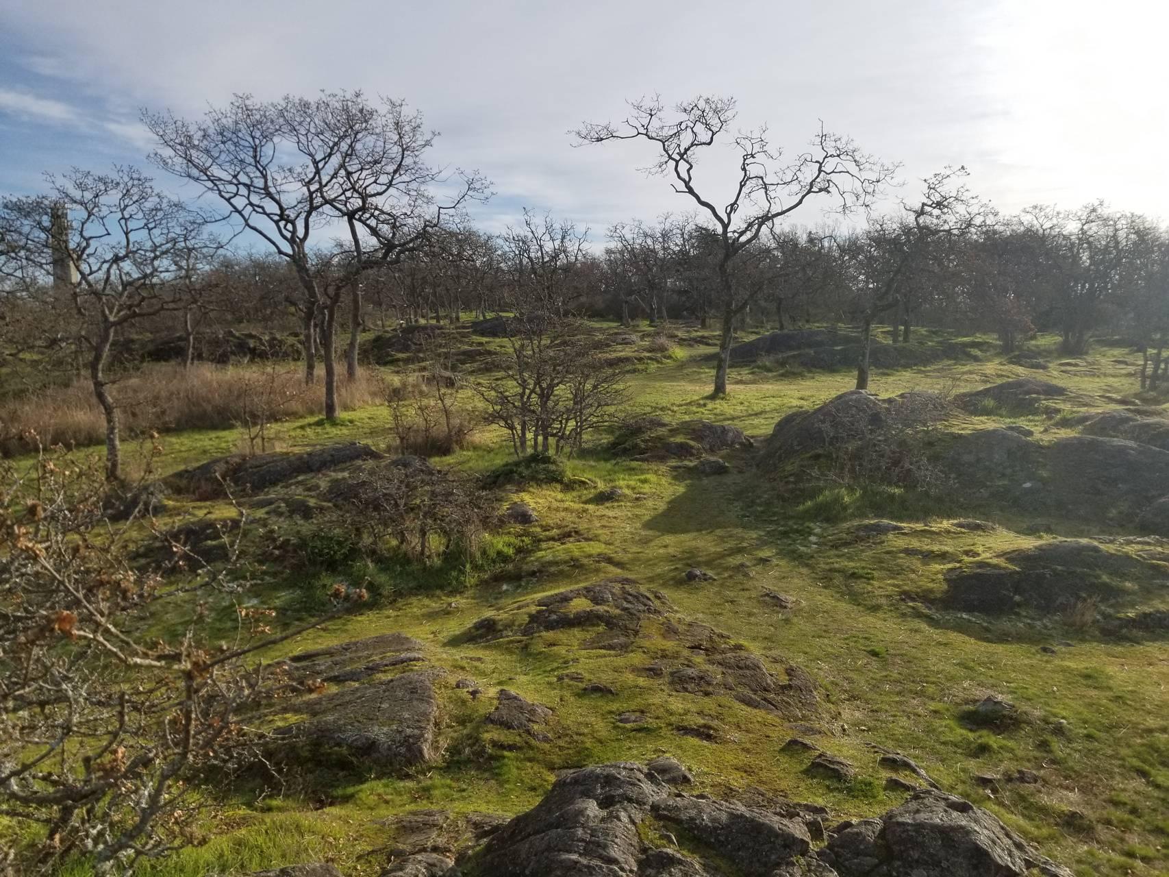 Dead oaks