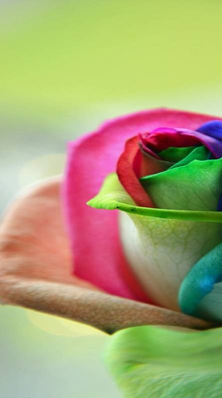 Colourful Roses Wallpapers