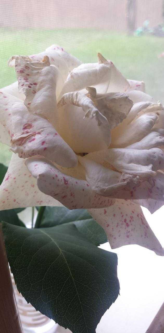 Red Splattered Rose