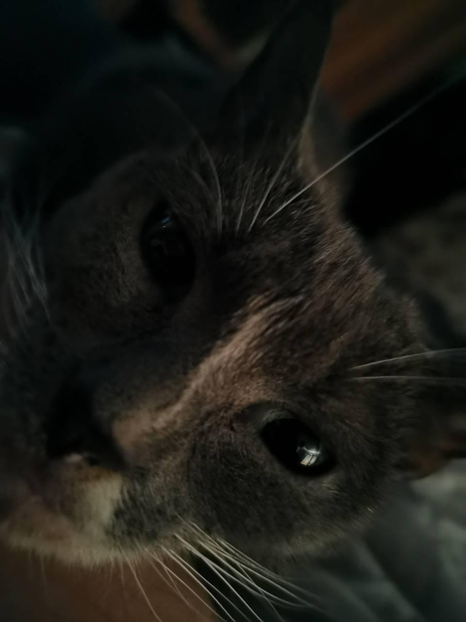 Gray smoky cat