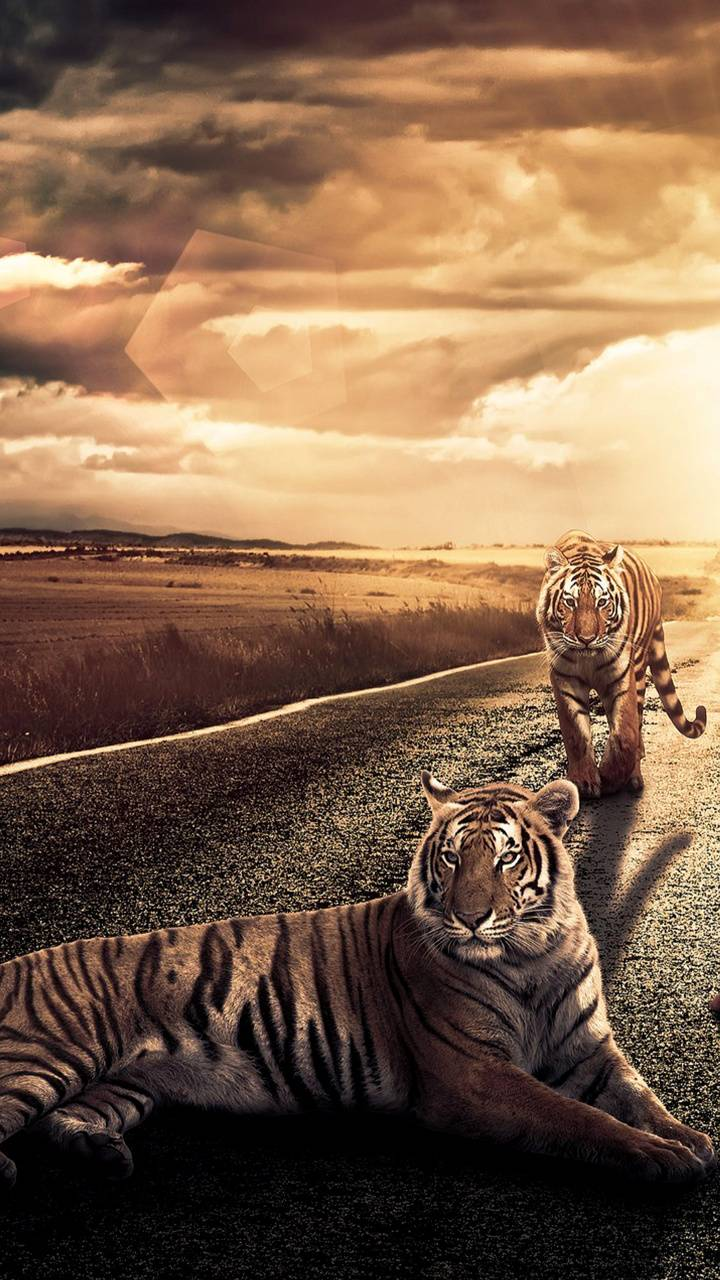 Tigers on the road