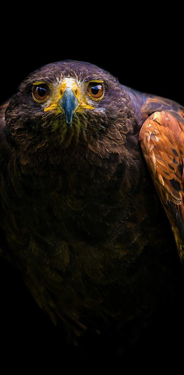 Eagle falcon