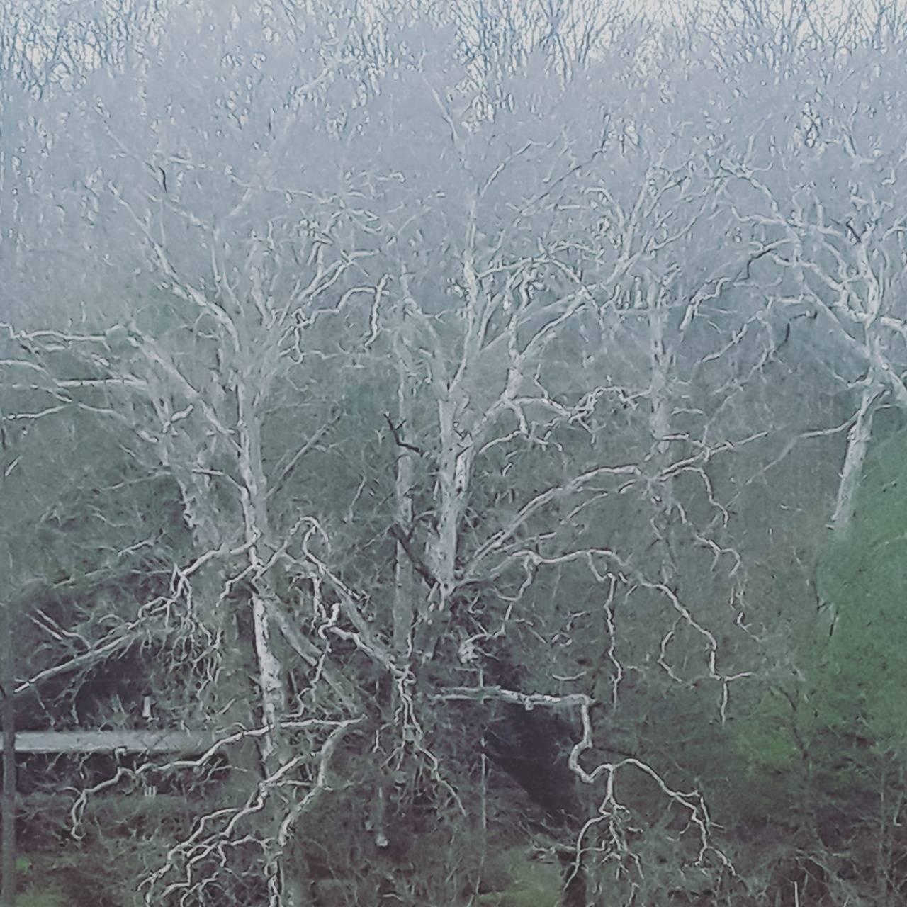 Tvd white Oak tree