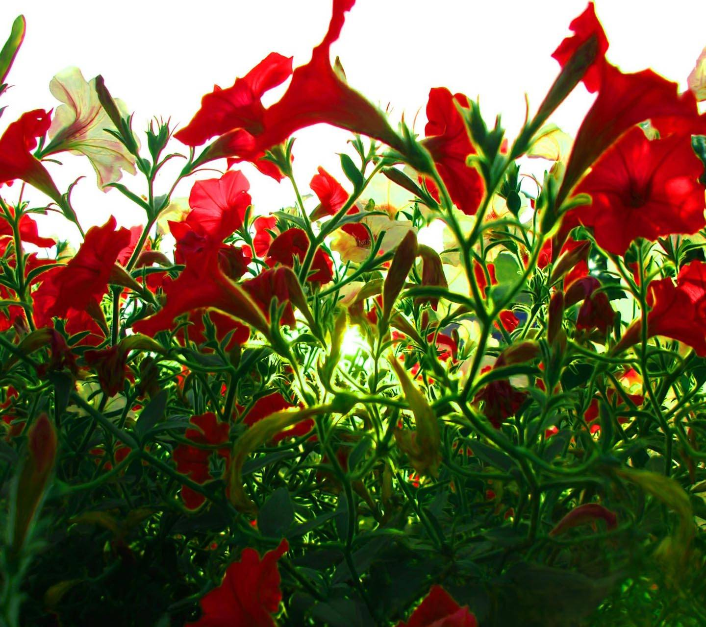 Red Poppies wp