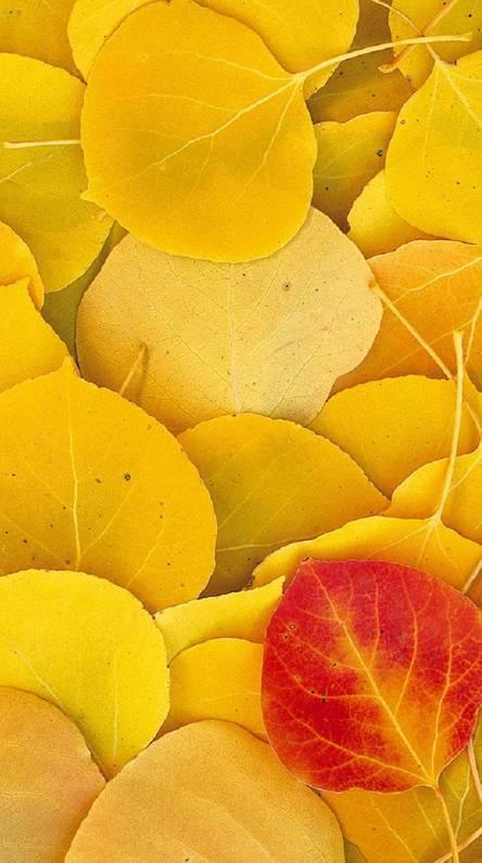 Aspen Leaves Eastern