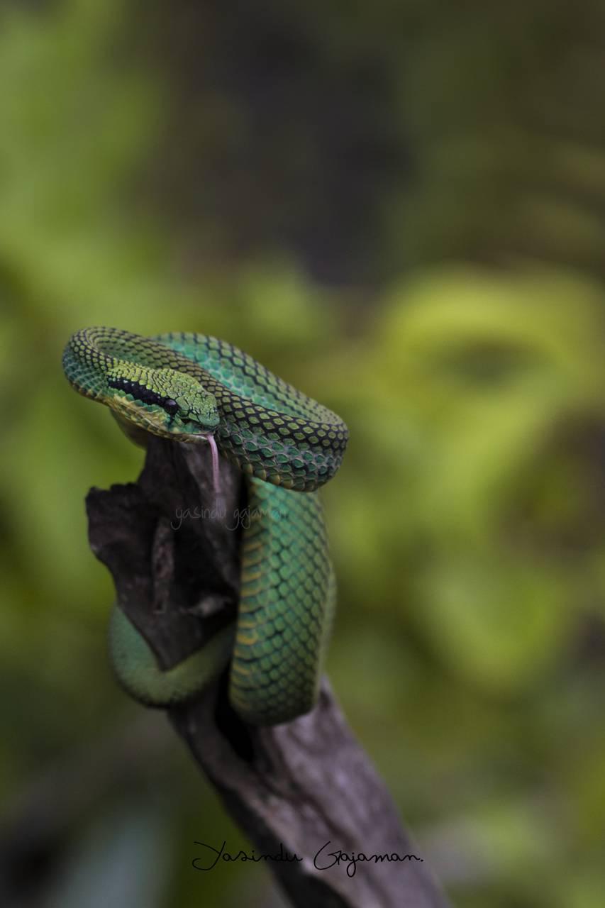 Green Pit Viper Wallpaper By Yasindugajaman 4e Free On