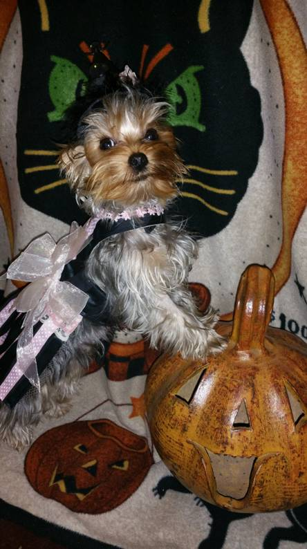 Halloween yorkie