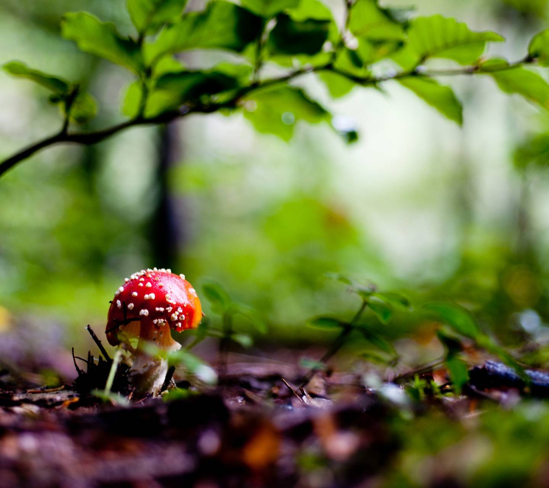 Sweet Red Mushroom