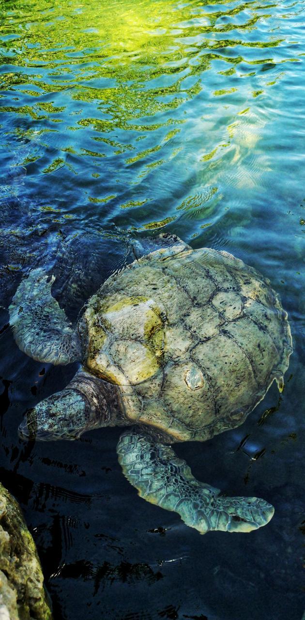 Mr Big Turtle