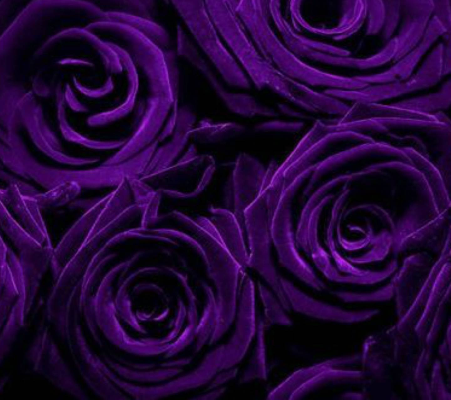 purple roses wallpaper by amysnice dc free on zedge