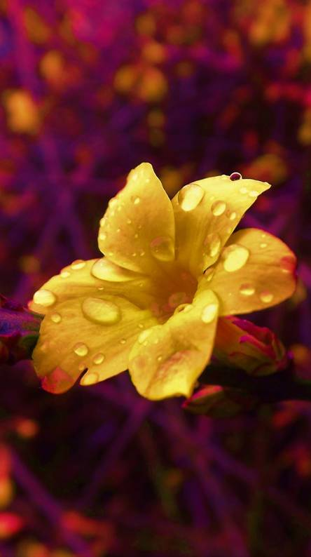 Rain On Flower Ringtones And Wallpapers Free By Zedge