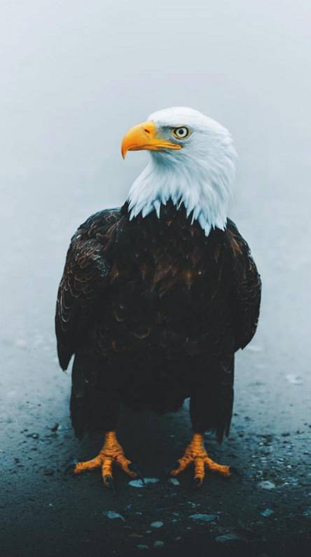 Eagle Wallpapers Free By Zedge