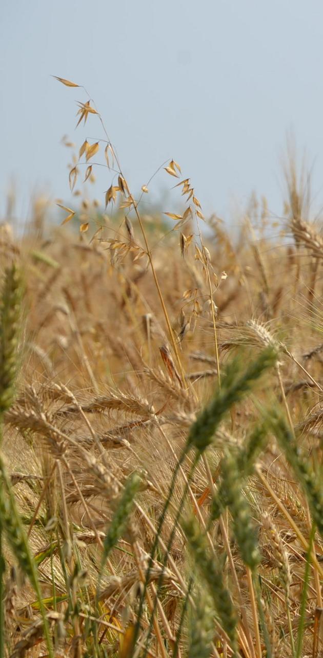 Ears Of Wheat 4k