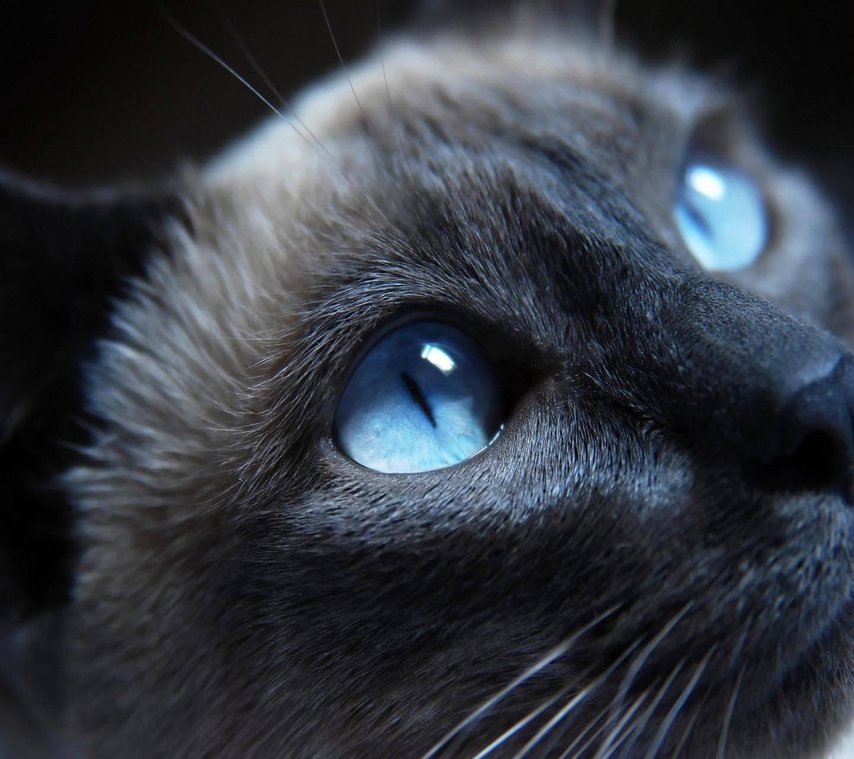 Blue Eye Cate