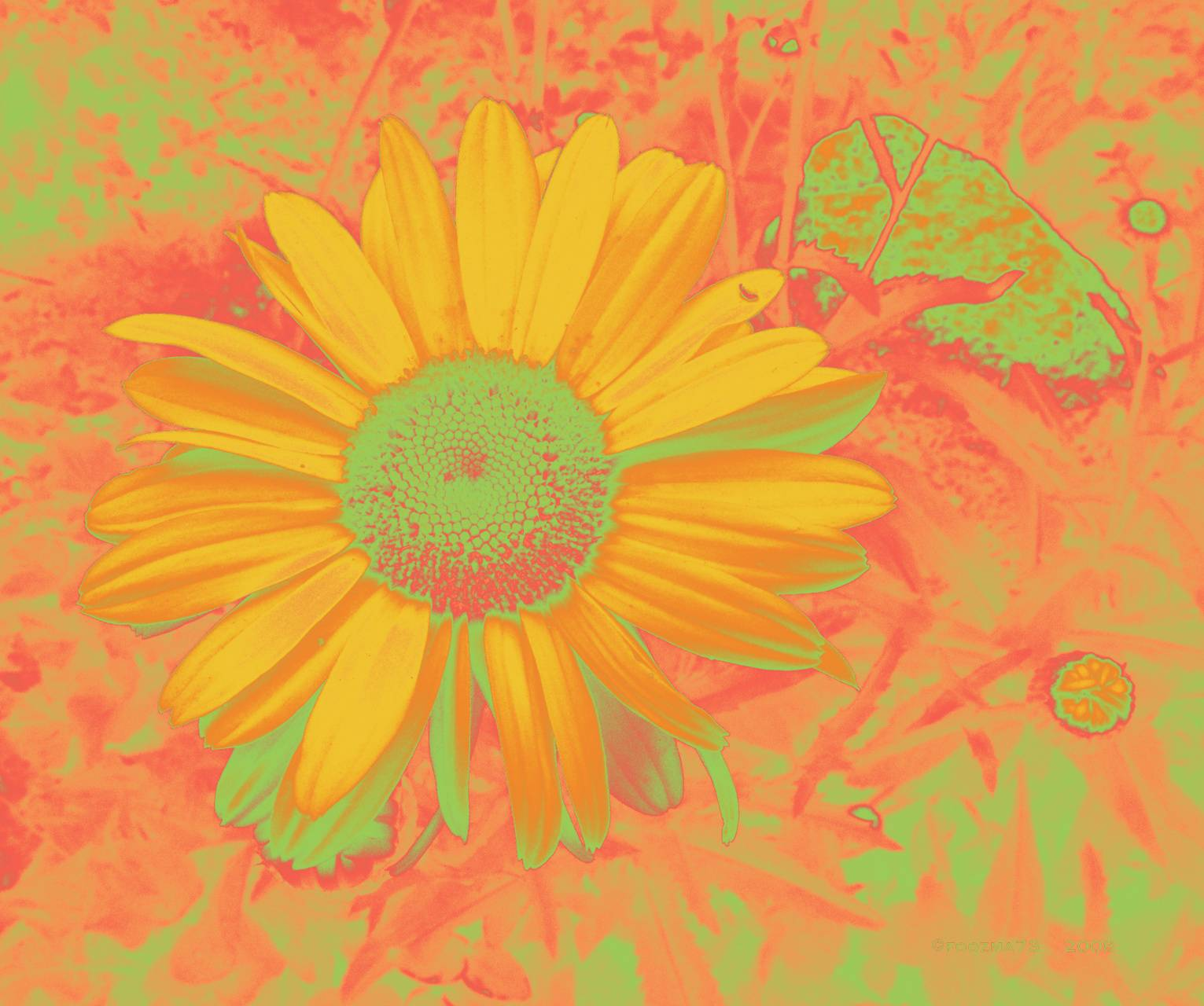 citrus daisy