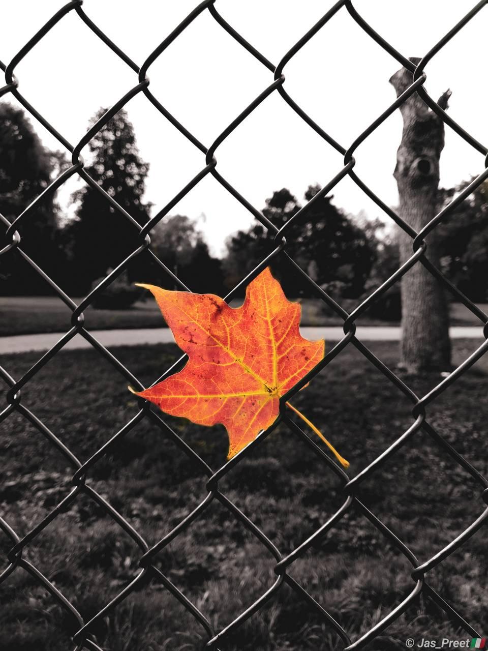 Falling leafe