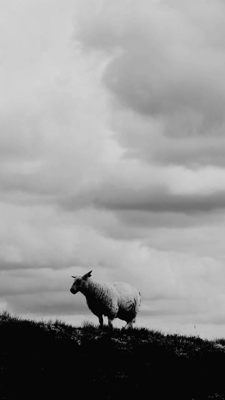 Sheep Happens