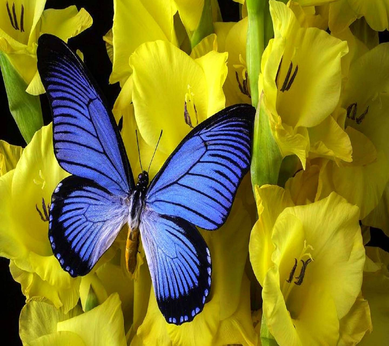 Blue wing butterfly