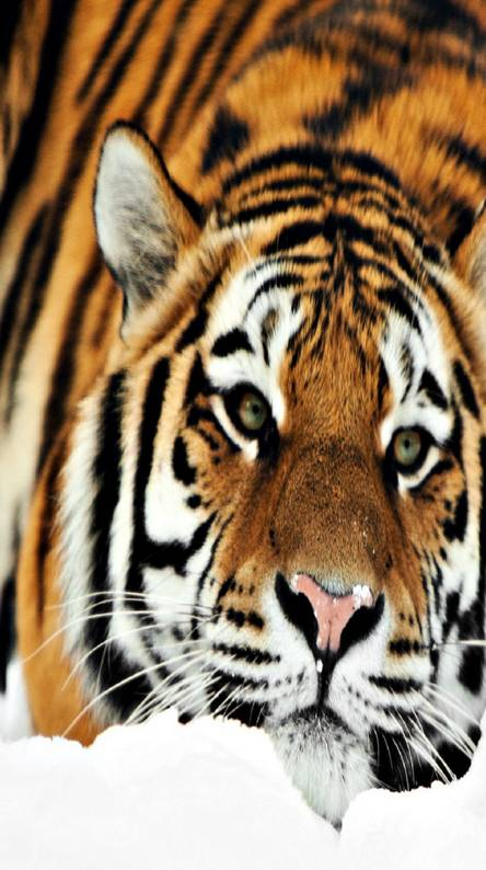 Hd tiger Wallpapers - Free by ZEDGE™