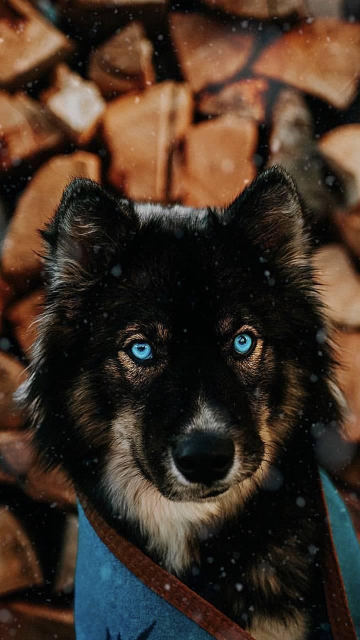 Husky doge