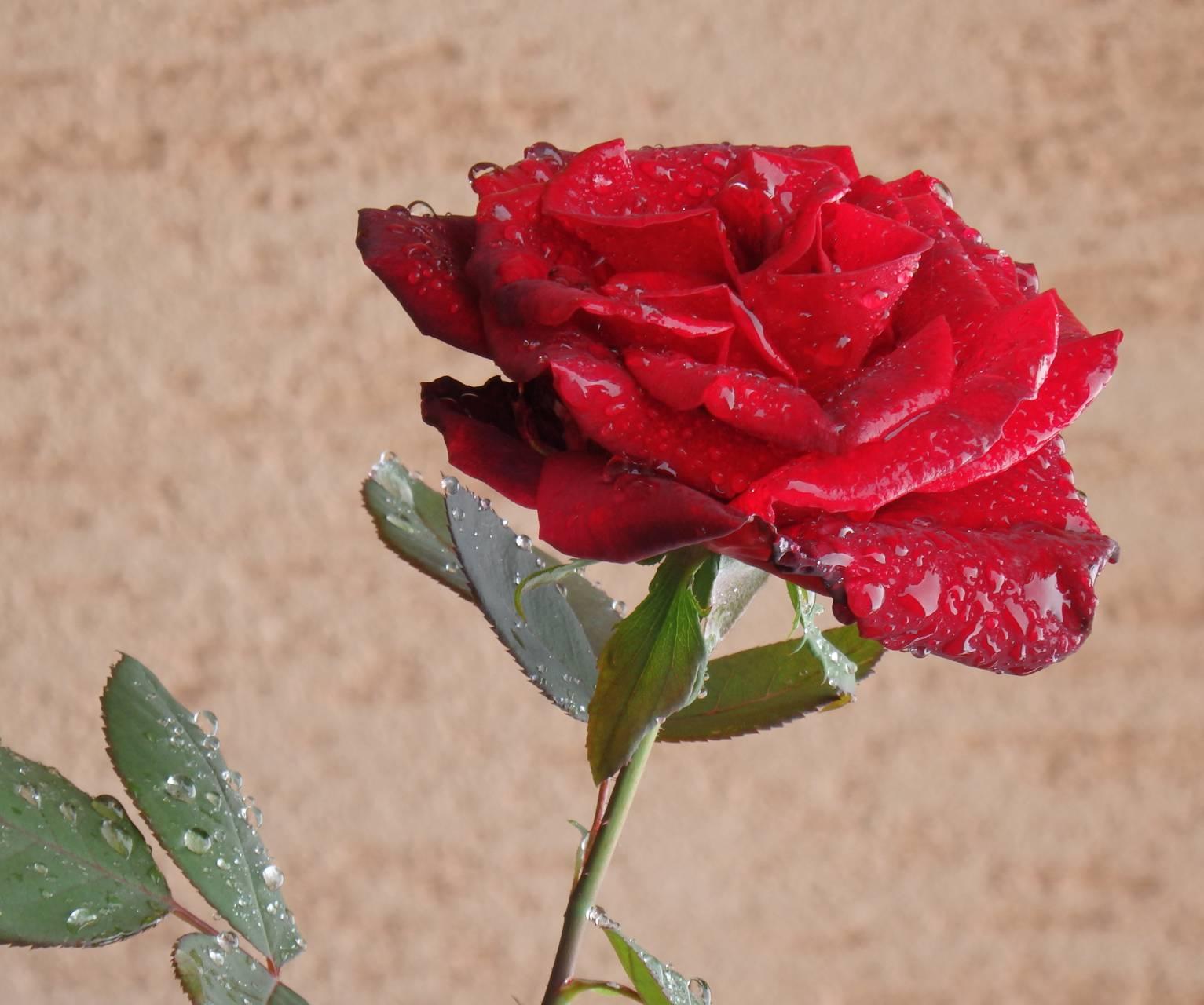 Raindrops rose 2
