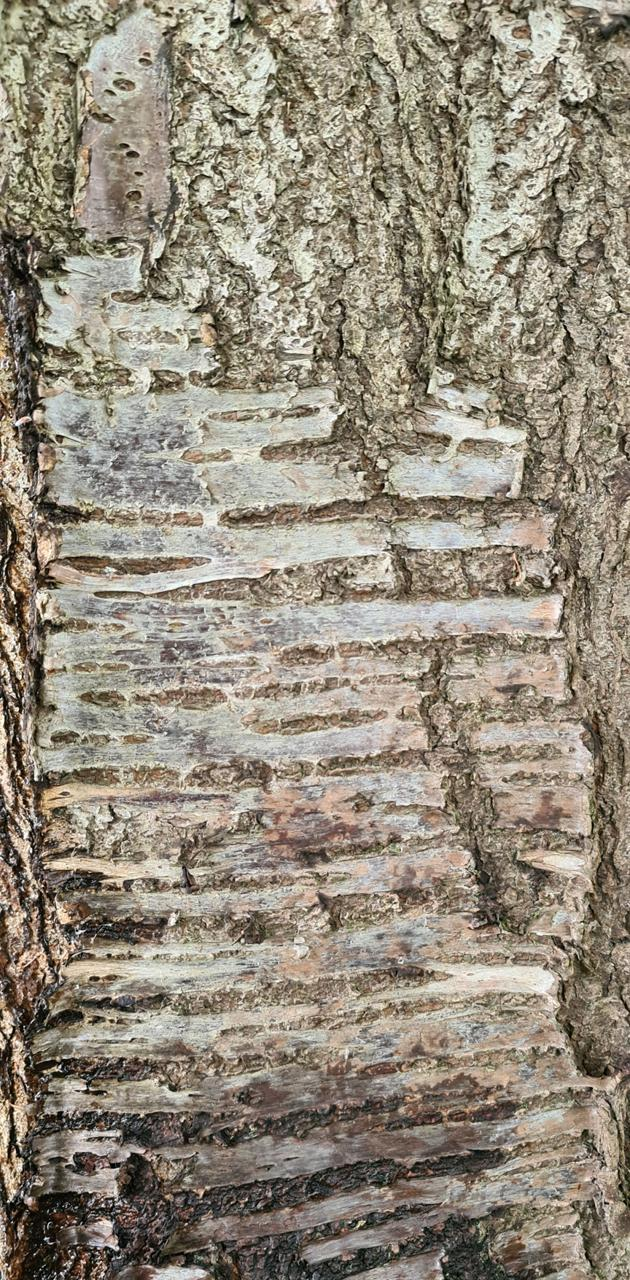 Tree Bark - Birch