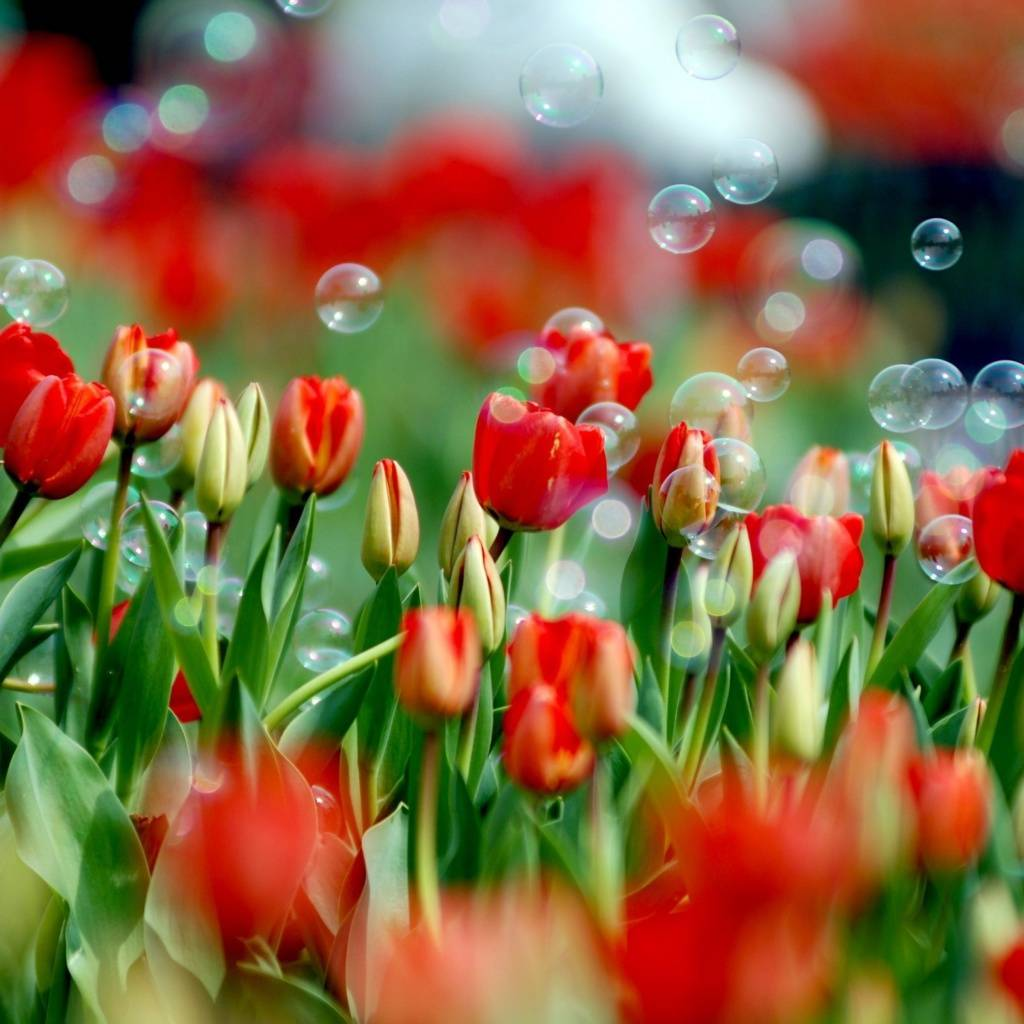 tulips n bubbles