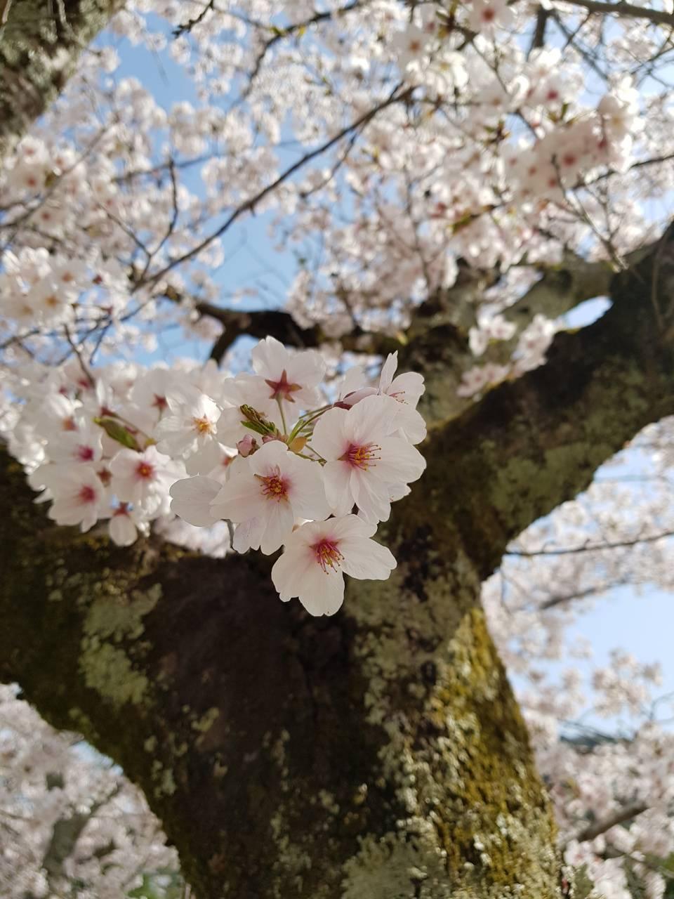 Uji Kyoto Sakura