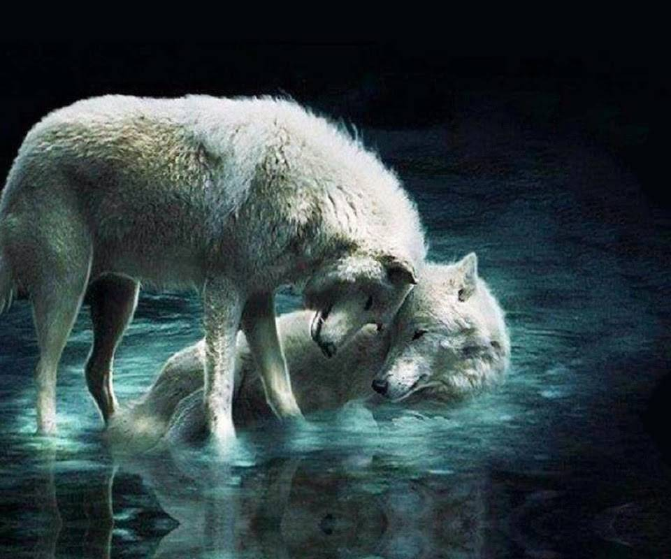 Couple wolves