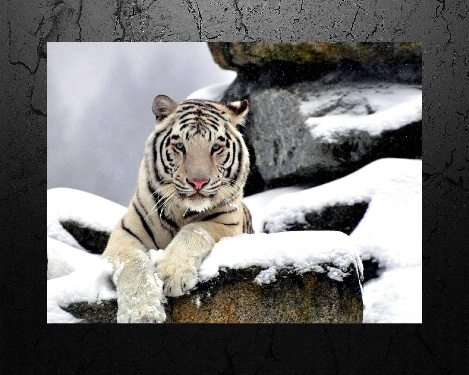 Xmas tiger