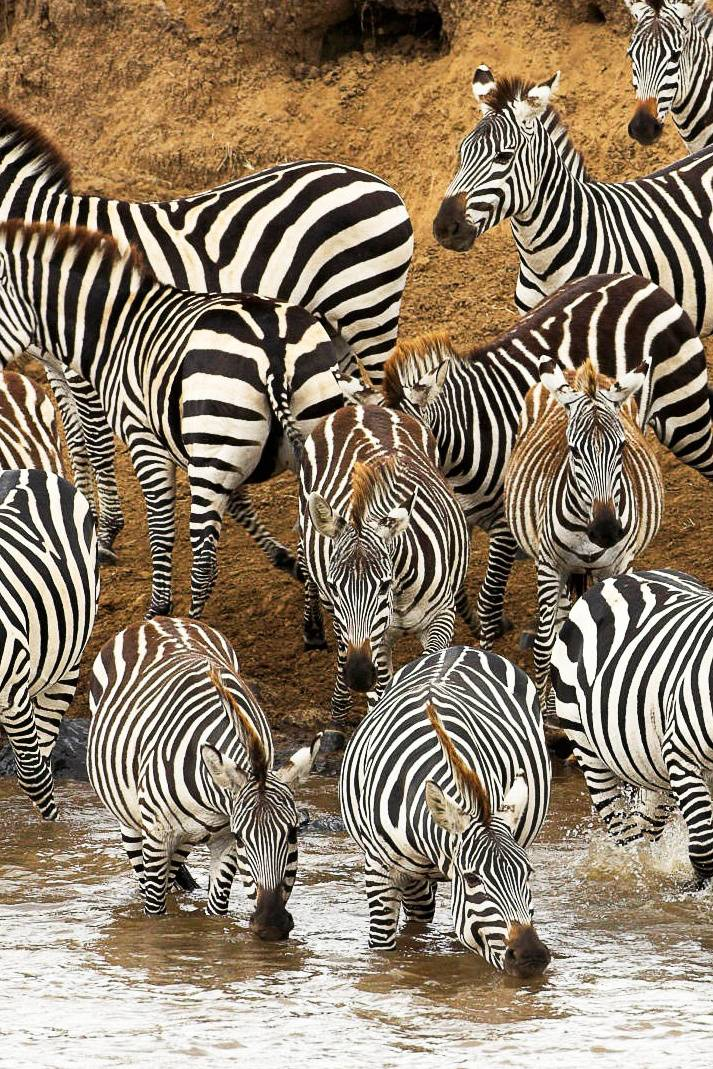 Zebras By The River