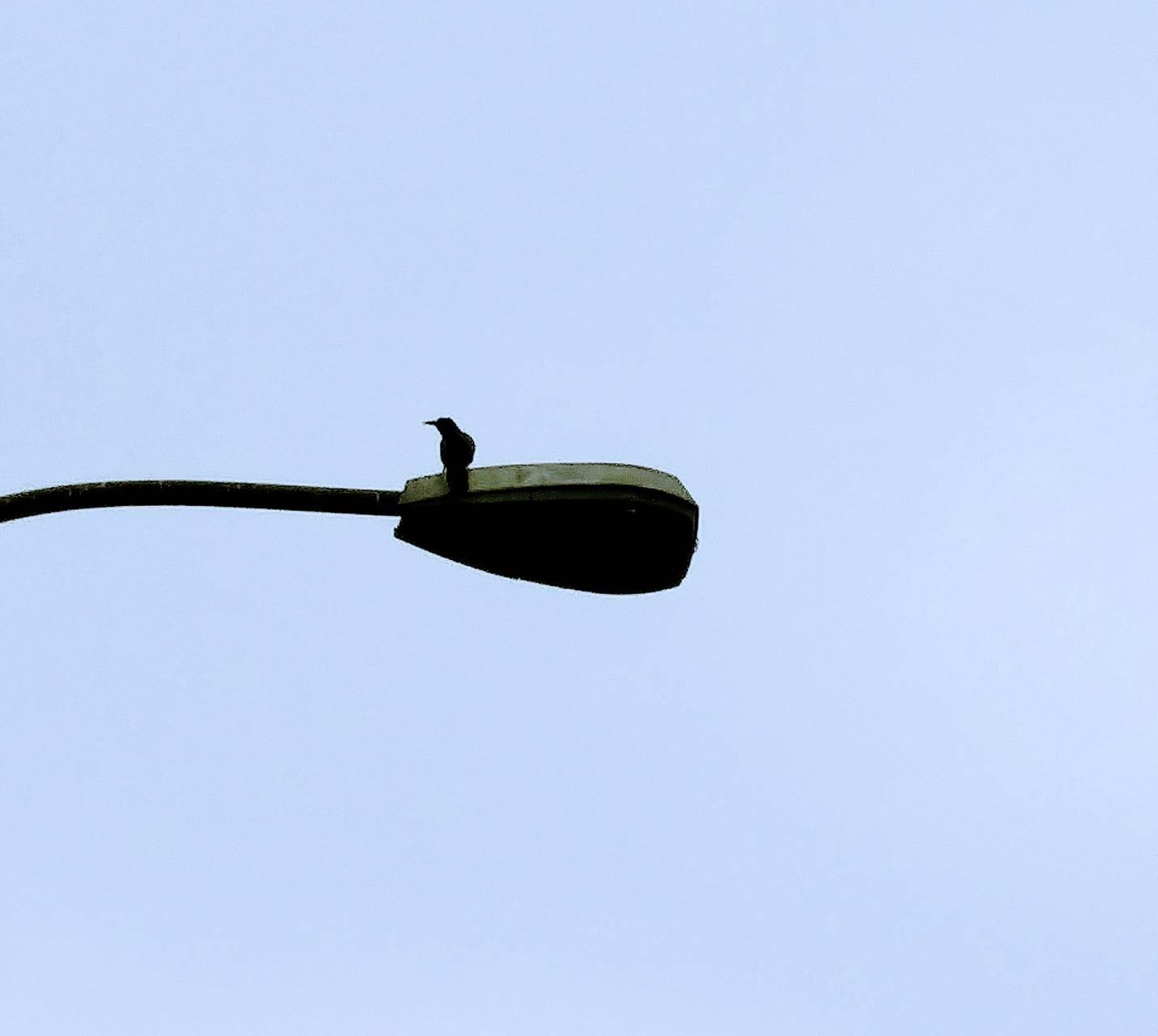Bird on a lampost