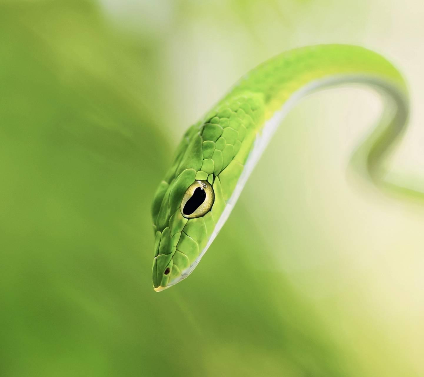 Green Snake Hd