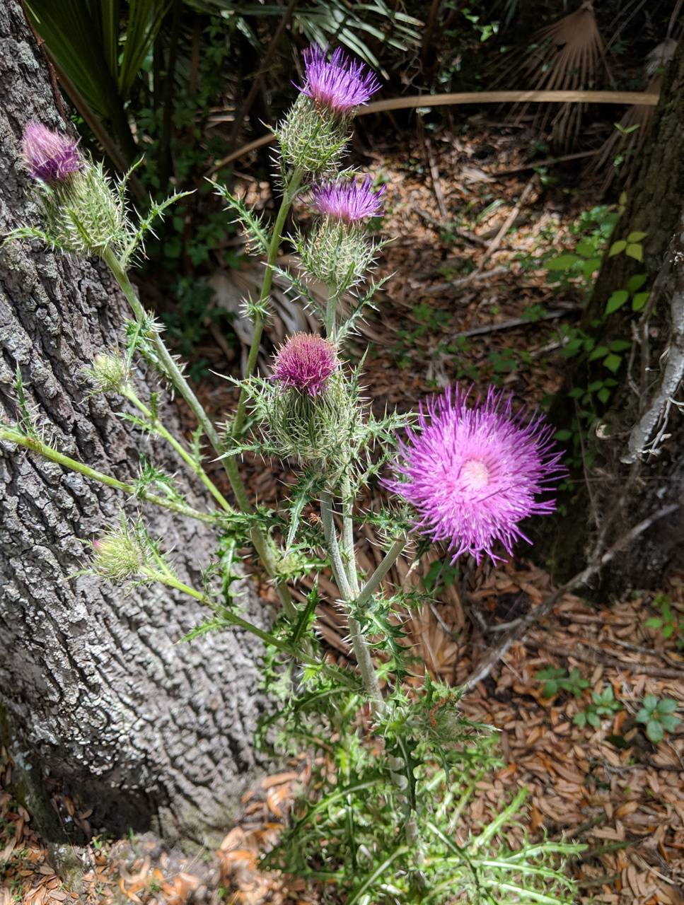 Thistle in the woods