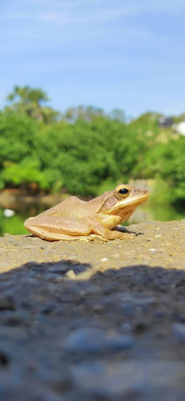 Hd frog