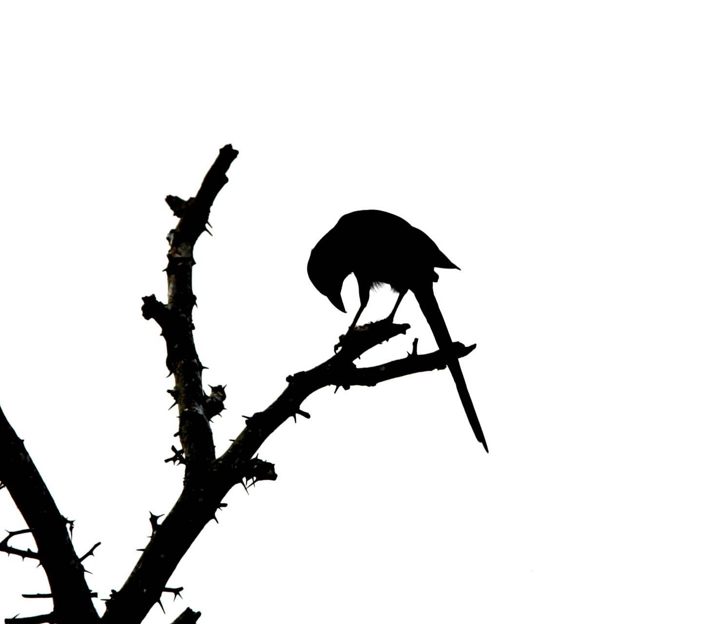 Minimalist Crow