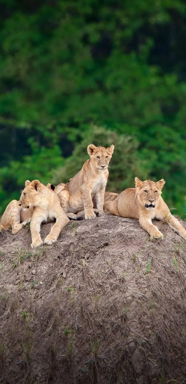 Lions kingdom