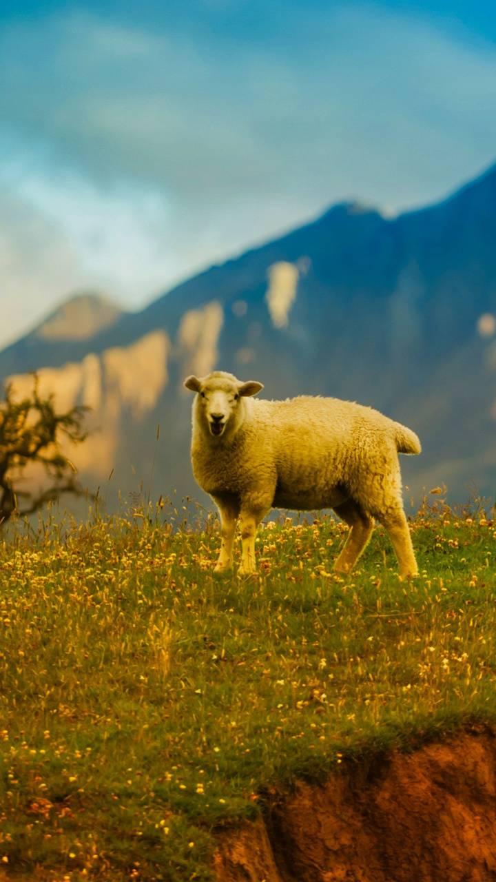 New Zealand Sheep 4K